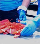 Lobster wranglers wrestle cooked beasts into submission at Rockland, ME's Lobster Festival.